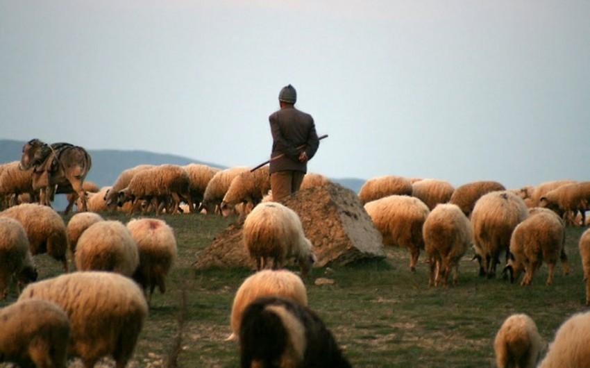 Şamaxıda itə görə həmkarını qətlə yetirən çobanın apellyasiya şikayəti təmin edilməyib