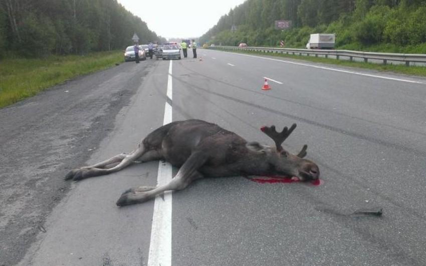 Çexiyada turist avtobusu maral ilə toqquşub, 5 nəfər yaralanıb