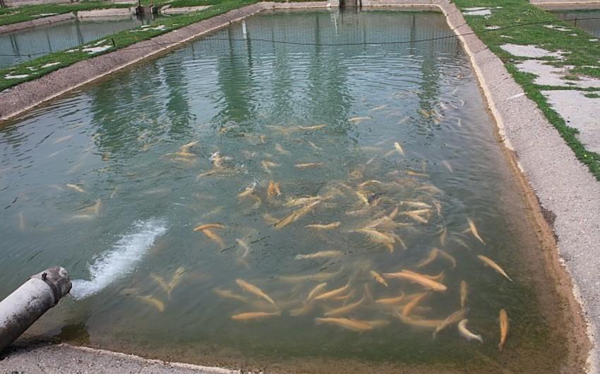 Ağdaşda süni balıq gölü sakinlər tərəfindən dağıdılıb