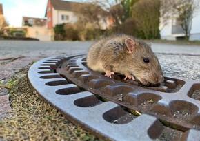 Британцев предупредили о миллионах крыс, которые придут в их дома