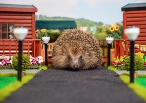 Britaniyada dünyada ilk dəfə kirpi parkı açıldı