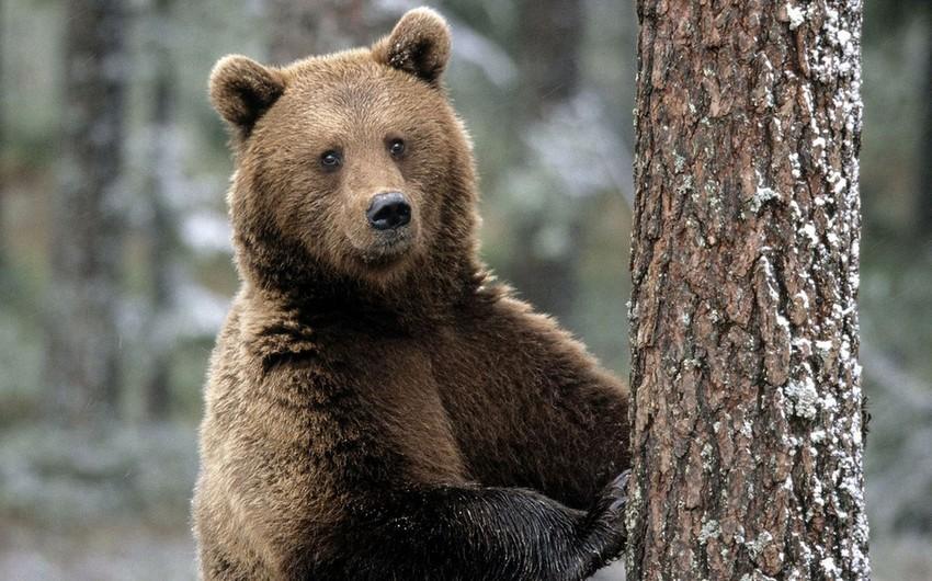 Медведи вернулись в Чернобыль после векового отсутствия