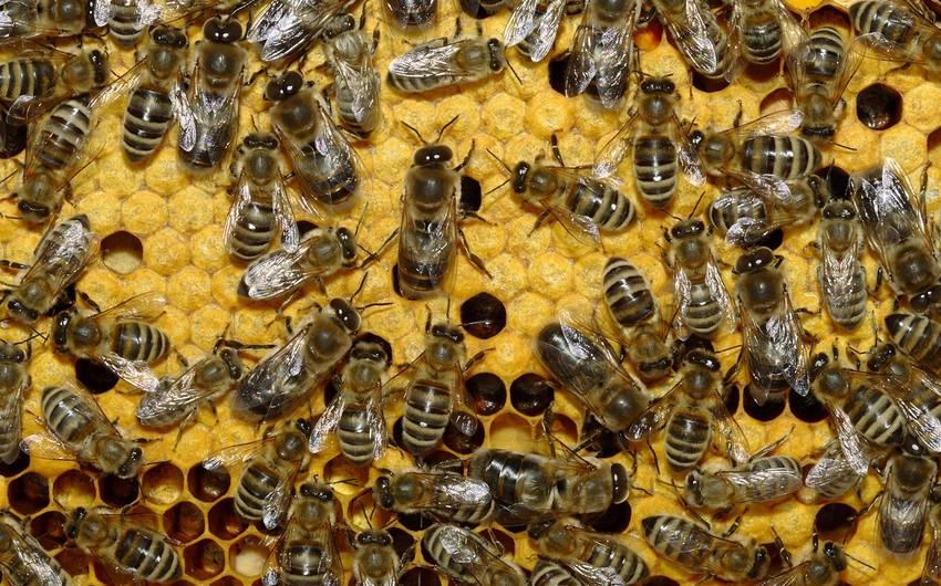 Azərbaycan arıçıları saxladıqları hər arı ailəsinə görə 10 manat subsidiya alacaq