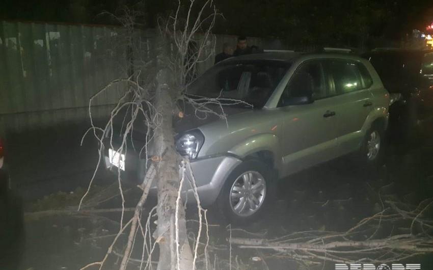 Bakıda ağac aşaraq avtomobilin üstünə düşüb - FOTO