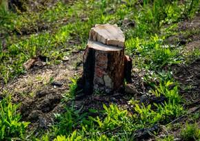 ETSN: Tikinti məqsədilə ağacları kəsiblər