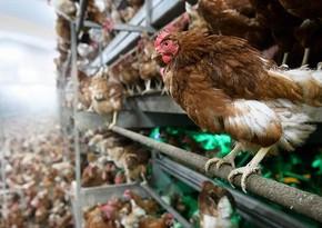 В Японии уничтожат еще 134 тыс. кур