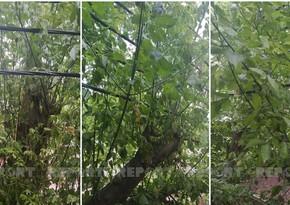 Bakıda işıq kabellərinin ağaca dolaşması təhlükəli vəziyyət yaradıb