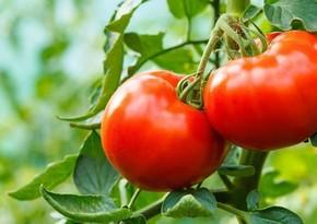 Azərbaycanın daha 13 müəssisəsi Rusiyaya pomidor və alma ixrac edəcək