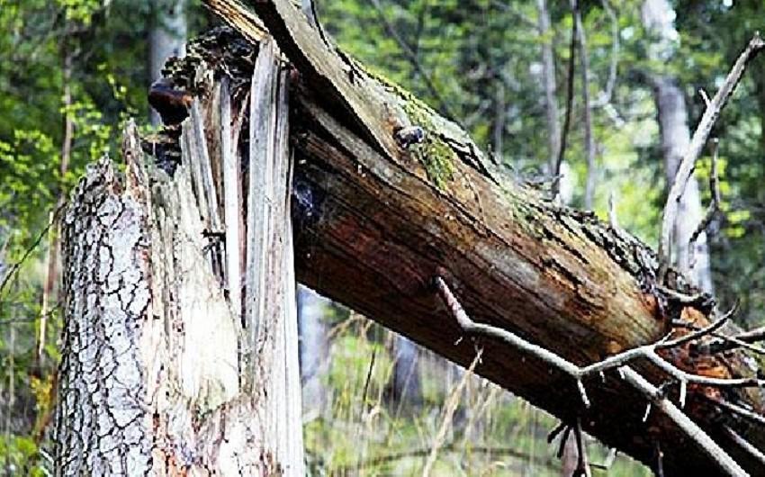 Yevlaxda ağac qırılaraq uşağın üstünə aşıb