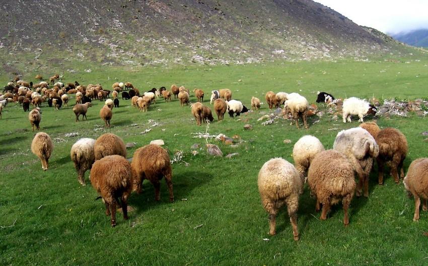 Azərbaycan diri heyvan idxalını iki dəfədən çox azaldıb