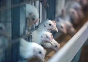 В отношении 44 стран введены ограничения в связи с птичьим гриппом - ПЕРЕЧЕНЬ