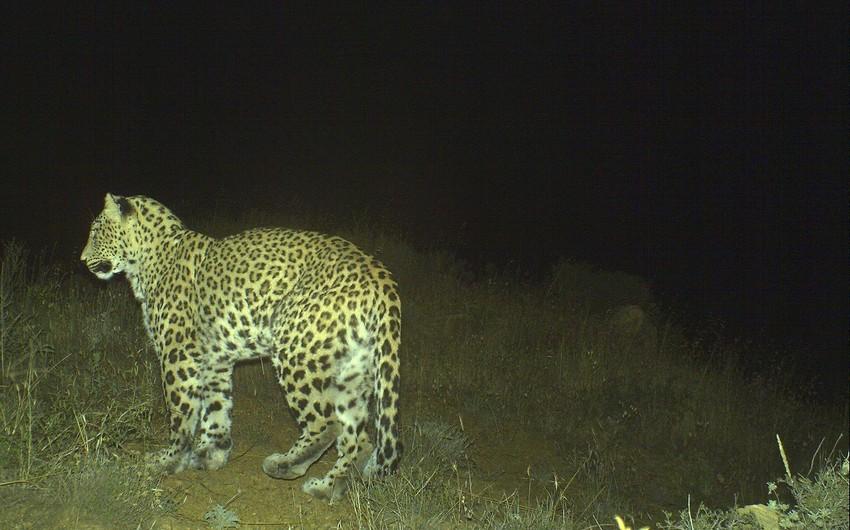 Photos of leopard cubs taken in Nakhchivan