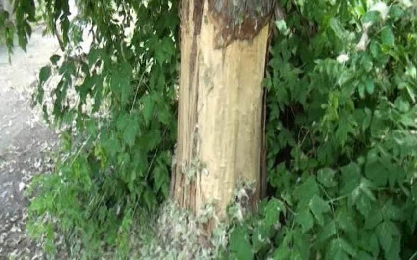 Mingeçevirdə idarə həyətində yerləşən 35 yaşlı ağac qəsdən qurudulub - FOTO