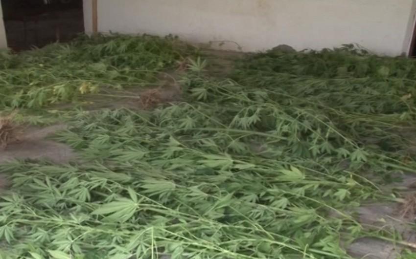 Buzovnada evdən 877 ədəd narkotik tərkibli çətənə kolu aşkar olunub