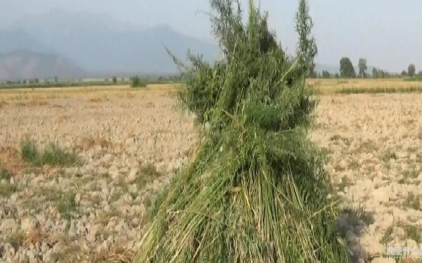 Şəki və Qaxda 10 tona yaxın narkotik bitki məhv edilib