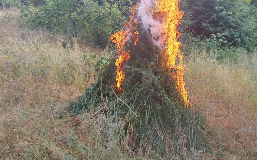 Xocavənddə narkotik tərkibli bitkilər aşkarlandı
