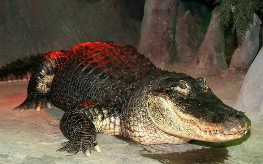 Moskva zooparkında 84 yaşlı alliqator ölüb