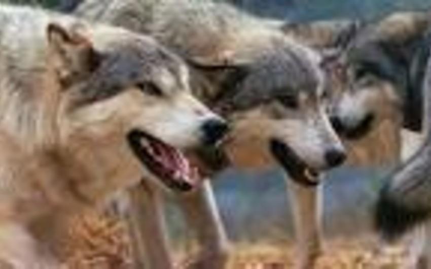 Ağsuda canavarlar yerli sakinlərə hücum edib: 2 yaralı
