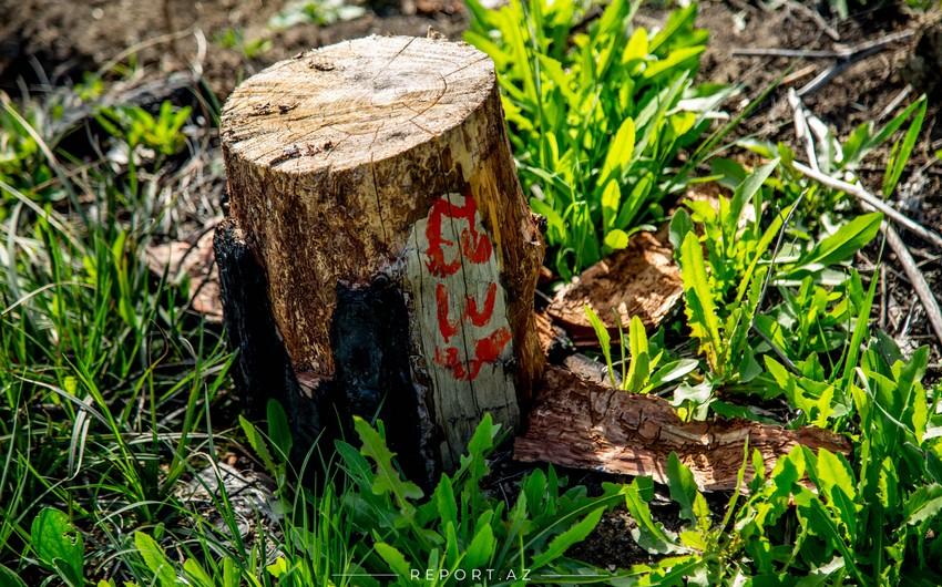 Xidmət rəisi: Həyətyanı sahədəki ağacları kəsmək cəriməyə səbəb olmur