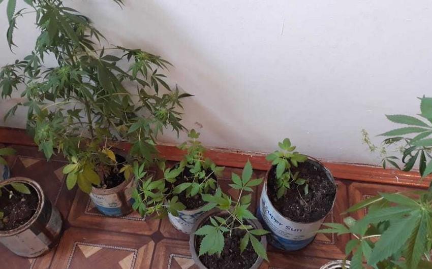 Astarada narkotik tərkibli bitki yetişdirən şəxslər saxlanılıblar