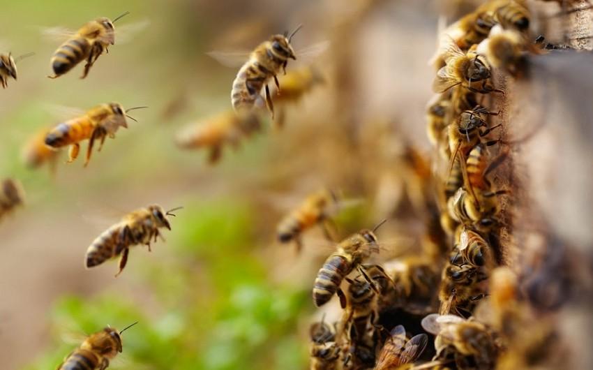 Qvatemalada arılar sakinlərə hücum edib