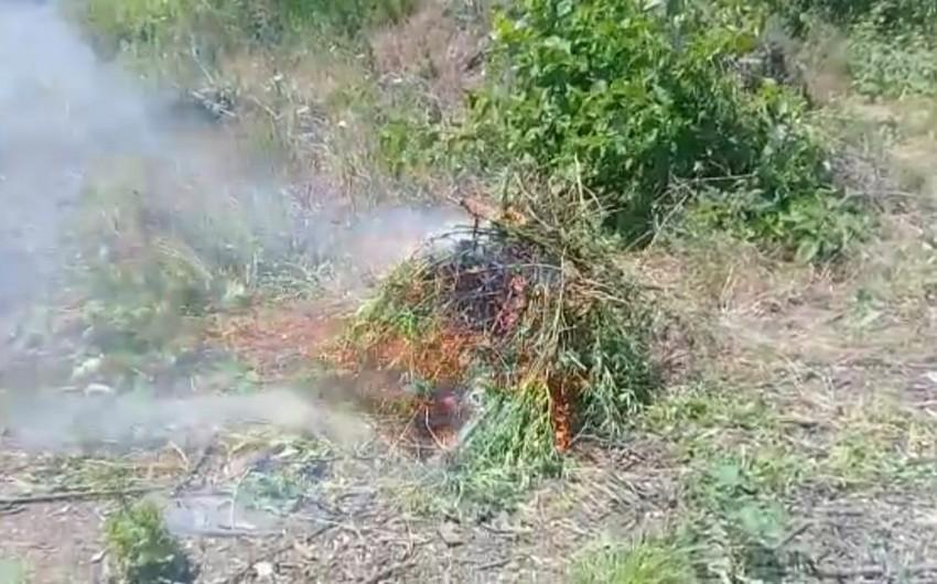 Azad edilmiş ərazilərdə narkotik tərkibli bitkilər aşkarlandı