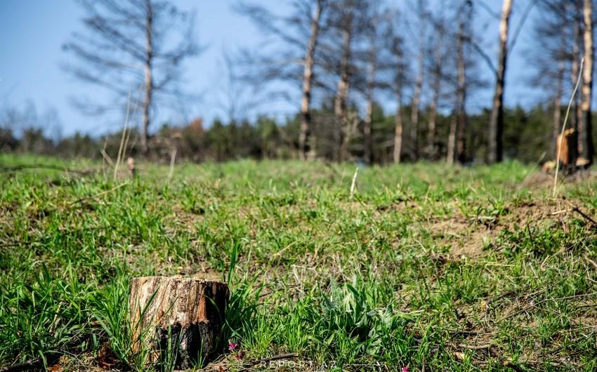Sumqayıtda ağacların kəsilməsi faktı ilə bağlı cinayət işi açılıb