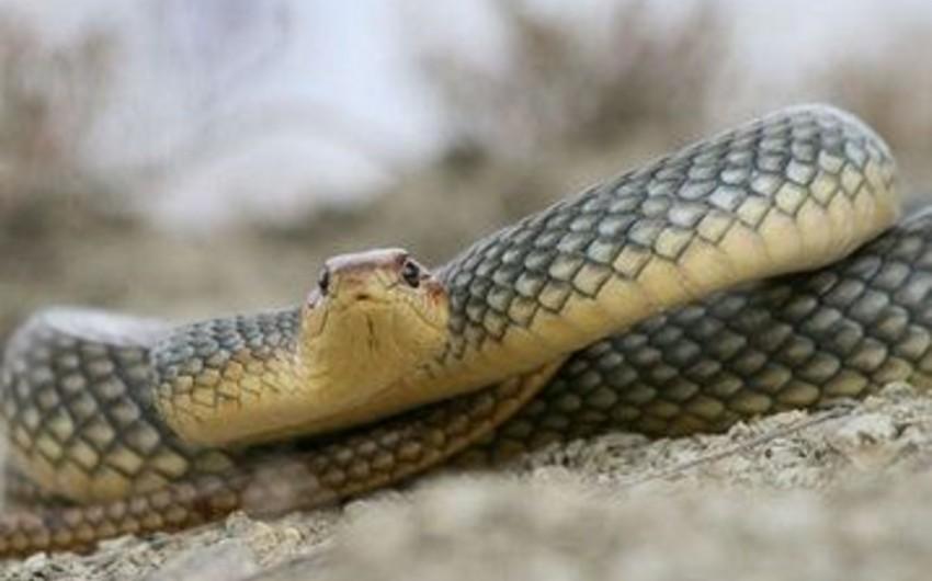 В Шамкире женщину ужалила змея