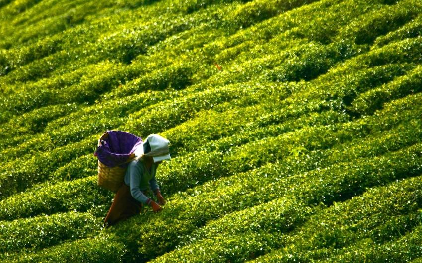 Azərbaycan oktyabrda Qazaxıstana 58 ton çay ixrac edib
