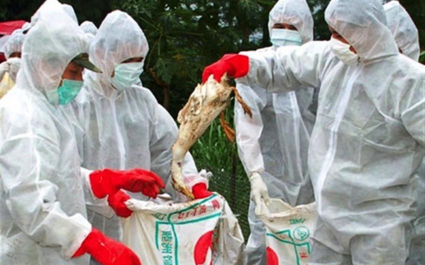 Yaponiyada H5 virusu səbəbindən 73 min quş məhv ediləcək