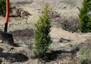 Hacıqabulda 5 min ağac əkilib - VİDEO