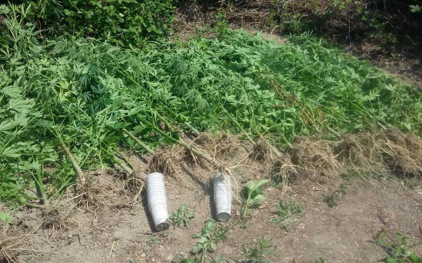 İsmayıllıda çay kənarında narkotik bitki yetişdirən saxlanılıb